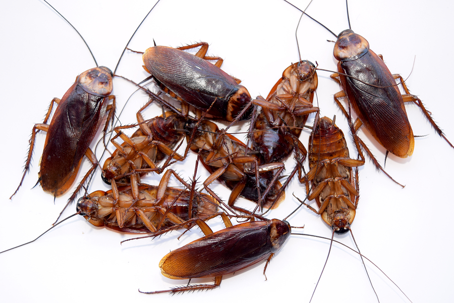 maine cockroach exterminators maine bed bugs and pest control maine bed bugs and pest control. Black Bedroom Furniture Sets. Home Design Ideas